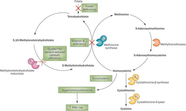 Figure-1-Potential-effects-of-vitamin-B12-and-folate-deficiencies-and-the-Cys66Thr