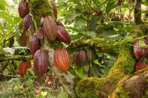 cacao-moxiemart.net_